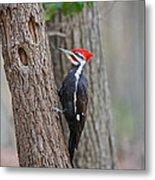 Pileated Woodpecker Foraging Metal Print