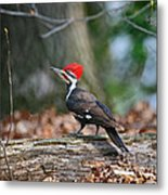 Pileated Woodpecker On Log Metal Print