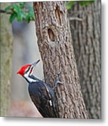 Pileated Woodpecker On Tree Metal Print