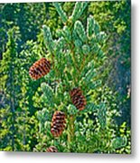 Pine Cones On Spruce Tree In Rancheria Falls Recreation Site-yt Metal Print