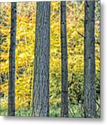 Pine Forest In The Autumn Metal Print