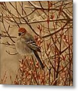 Pine Grosbeak Metal Print by Tammy  Taylor