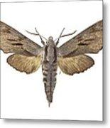 Pine Hawk Moth Metal Print