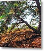 Pine Tree In Hoge Veluwe National Park 2. Netherlands Metal Print