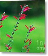 Pineapple Sage Metal Print