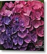 Pink And Blue Hydrangea Metal Print