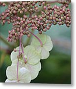 Pink And Green Hydrangea Closeup Metal Print