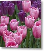 Pink And Purple Dutch Tulips Metal Print