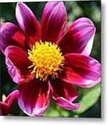 Pink And Red Dahlia Metal Print