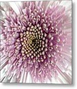 Pink And White Chrysanthemum Metal Print