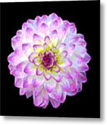 Pink And White Dahlia Posterized On Black Metal Print