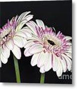 Pink And White Gerbera 2 Metal Print