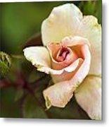 Pink And White Rose Metal Print