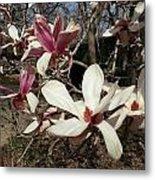 Pink And White Spring Magnolia Metal Print