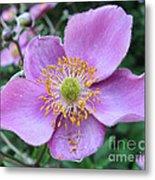 Pink Anemone Flower Metal Print