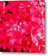 Pink Azalea's Metal Print