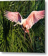Pink Bird Flying - Spoonbill Coming In For A Landing Metal Print