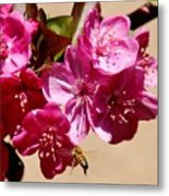 Bee Flying Pink Blossoms 031015a Metal Print