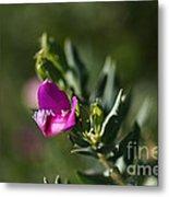 Pink Blush - Sweet Pea Bush  Metal Print