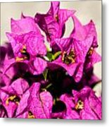 Pink Bougainvillea Classical Metal Print by Lisa Cortez