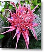 Pink Bromeliad Metal Print