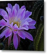 Pink Cactus Bloom  Metal Print