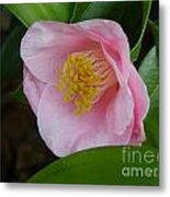 Pink Camellia About To Bloom Metal Print