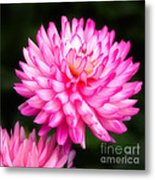 Pink Chrysanths Metal Print
