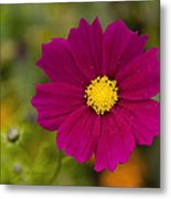 Pink Cosmos 3 Metal Print by Roger Snyder