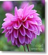 Pink Dahlia Closeup Metal Print