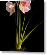 Pink Diamond Amaryllis Metal Print by Claudio Bacinello