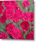 Pink Dianthus Flowers Metal Print
