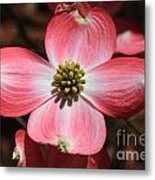 Pink Dogwood At Easter 5 Metal Print