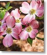 Pink Dogwood Blooms Metal Print