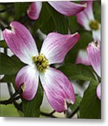 Pink Dogwood Blossom Up Close Metal Print