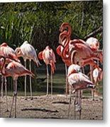 Pink Falmingos At The San Diego Zoo Metal Print