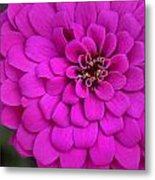 Pink Flower Blossoming Metal Print