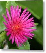 Pink Flower Of Succulent Carpet Weed  Metal Print