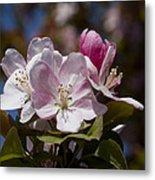 Pink Flowering Crabapple Blossoms Metal Print