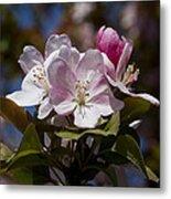 Pink Flowering Crabapple - Malus Metal Print