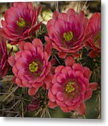 Pink Hedgehog Cactus Flowers  Metal Print