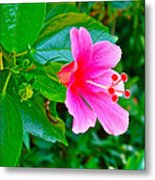 Pink Hibiscus Near Celadon Factory In Chiang Mai-thailand Metal Print