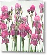 Pink Iris Metal Print