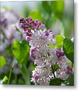 Pink Lilacs And Green Leaves - Featured 3 Metal Print