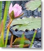 Pink Lily And Pads Metal Print