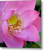 Pink Lotus Metal Print by Dan A  Barker