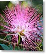 Pink Mimosa Flower Metal Print