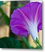 Pink Morning Glory Metal Print