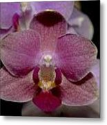 Pink Moth Orchid Metal Print by Gerald Murray Photography
