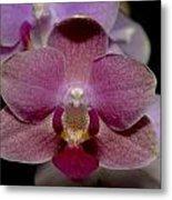 Pink Moth Orchid Metal Print